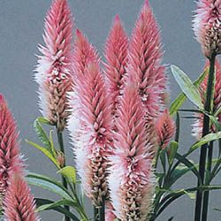Celosia Flamingo Feather Flower Seeds Flower Farm Annual Garden