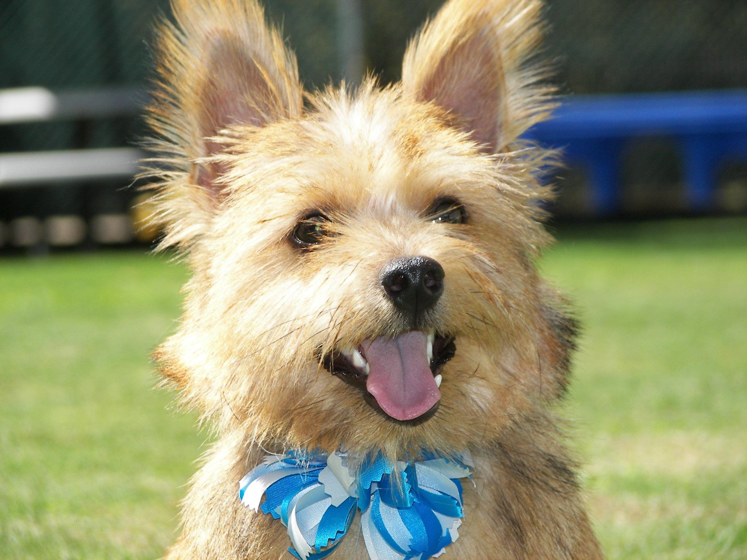 Puppy Kindergarten Norwich Terrier Norwich Terrier Puppy Terrier