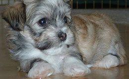 Havanese Puppies For Sale New York Westchester Havanese Puppies