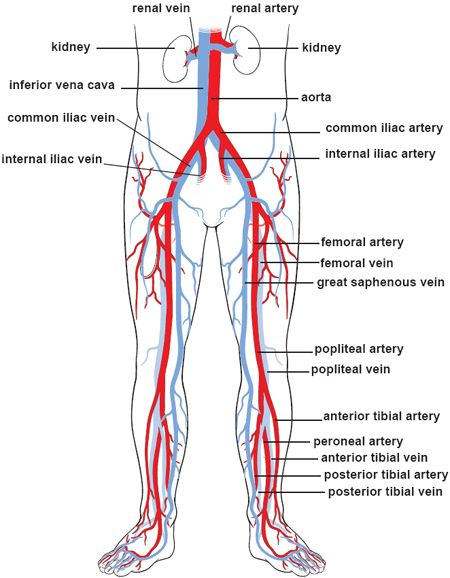 Blood Vessels 3 Lower Body Circulation Universidad Pinterest