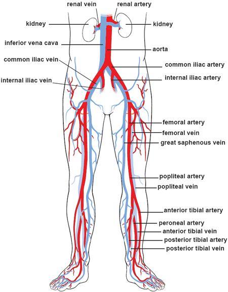 vascular anatomy diagram lower seat ibiza radio wiring blood vessels 3 body circulation universidad arteries