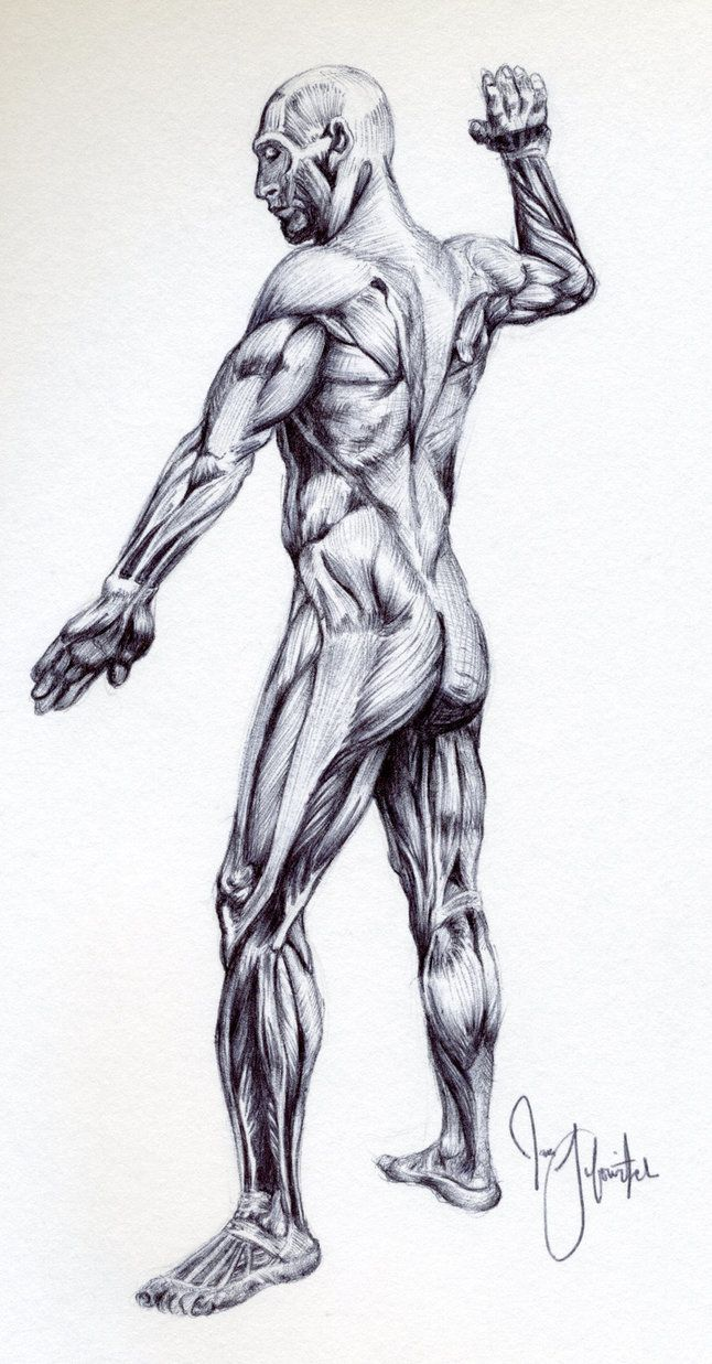 Male muscular anatomy sketch by *pikajane on deviantART | Human ...