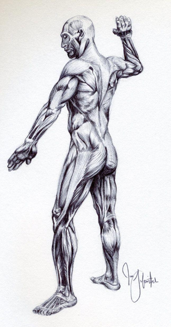 Male Muscular Anatomy Sketch By Pikajane On Deviantart Human
