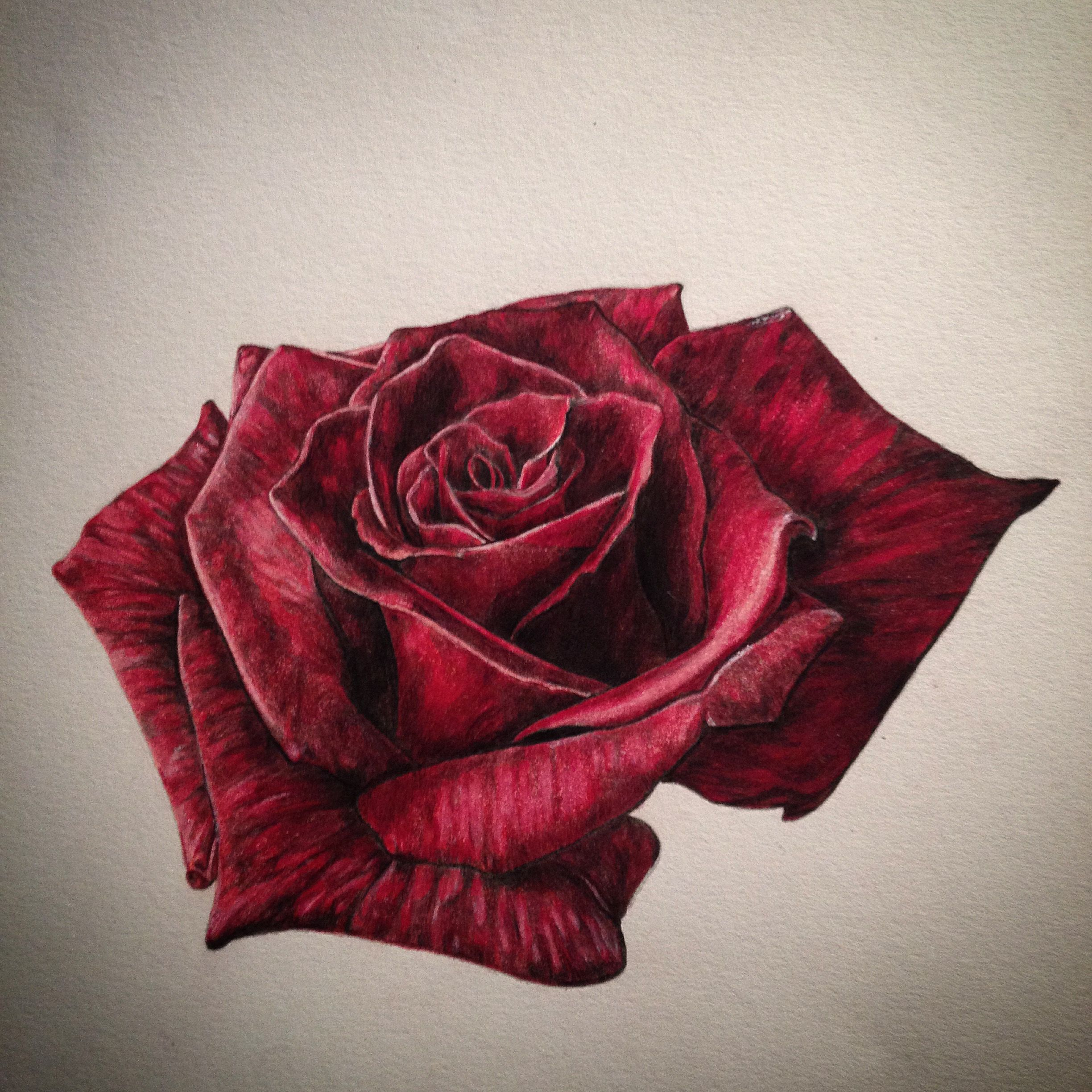 Realistic rose drawing done in colouring pencil