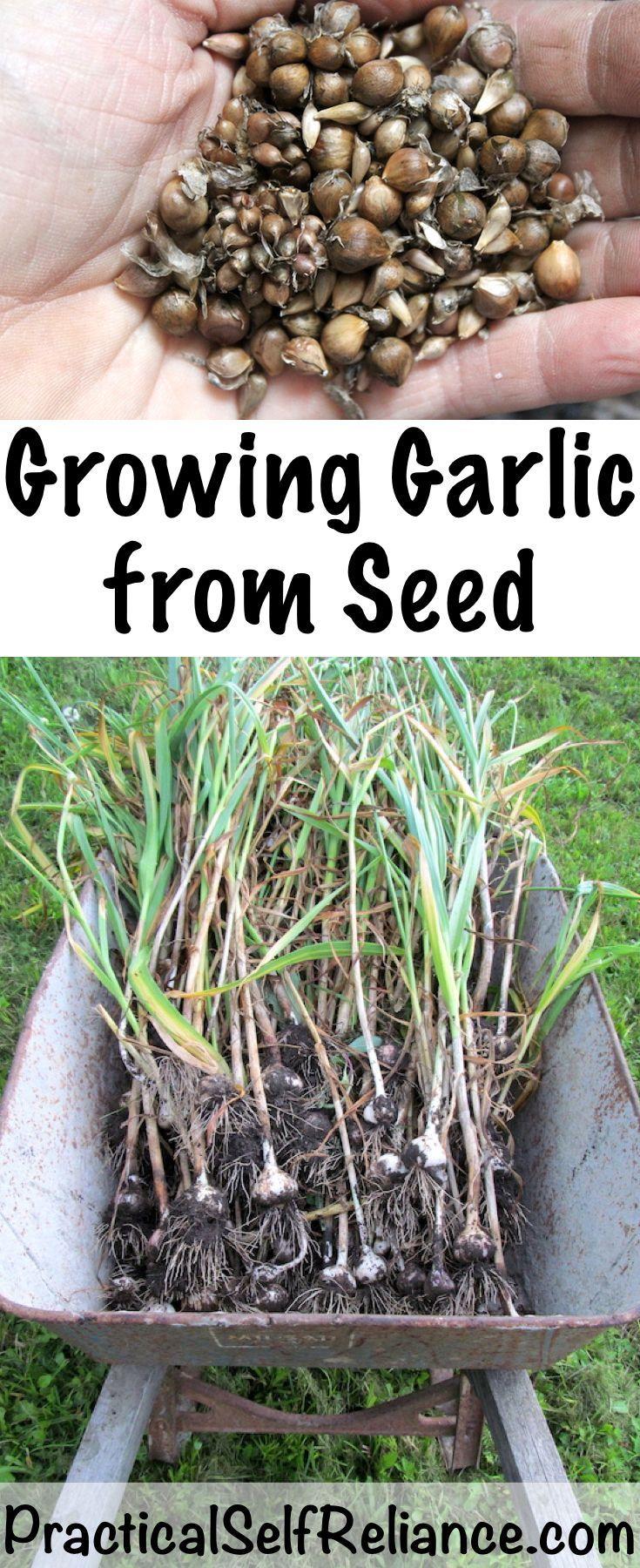 Growing Garlic From Seed Growing Garlic Growing Vegetables Organic Gardening Tips