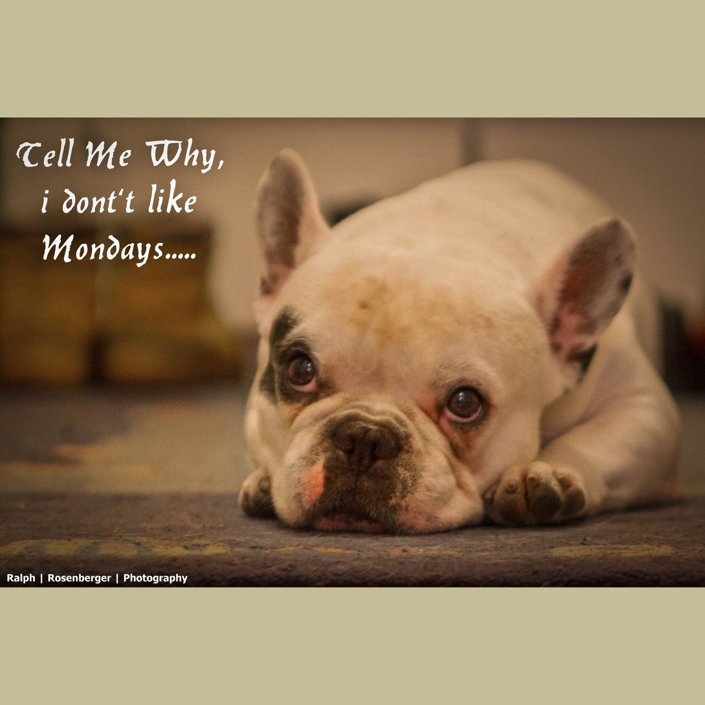 Good Morning Guten Morgen Frenchie Pai Frenchbulldog