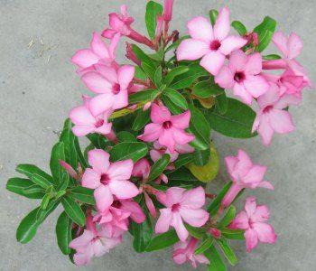 Adenium The Desert Rose Buy Nursery Plants Online In