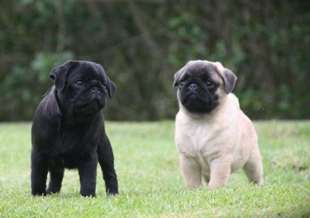 Cute Black Fawn Pug Puppies Pug Puppies