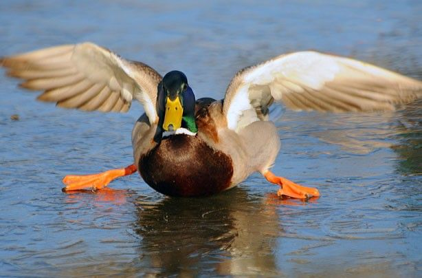 Ice-skating duck - Funny animal pictures | Duck pictures, Animal pictures,  Funny animal pictures