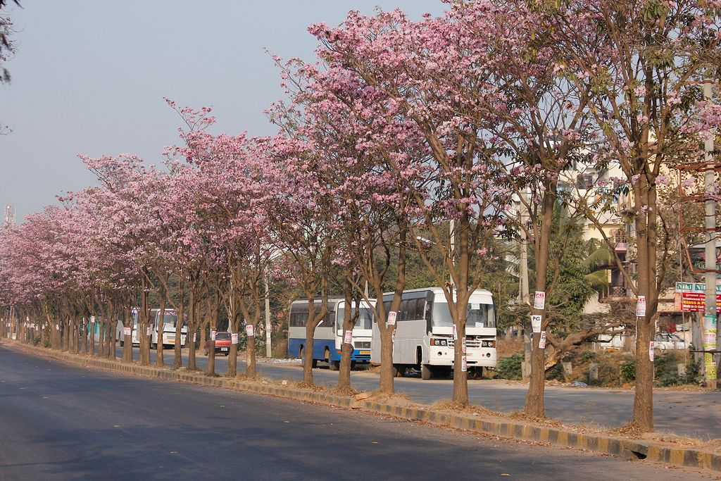 Beautiful Pink Trees In Bengaluru The Garden City Of India Urban Tree Beautiful Places To Visit Pink Trees