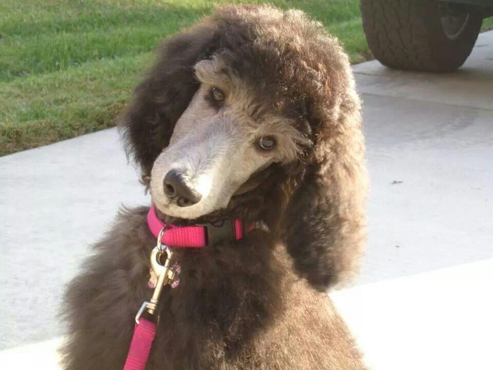 Standard poodle pup