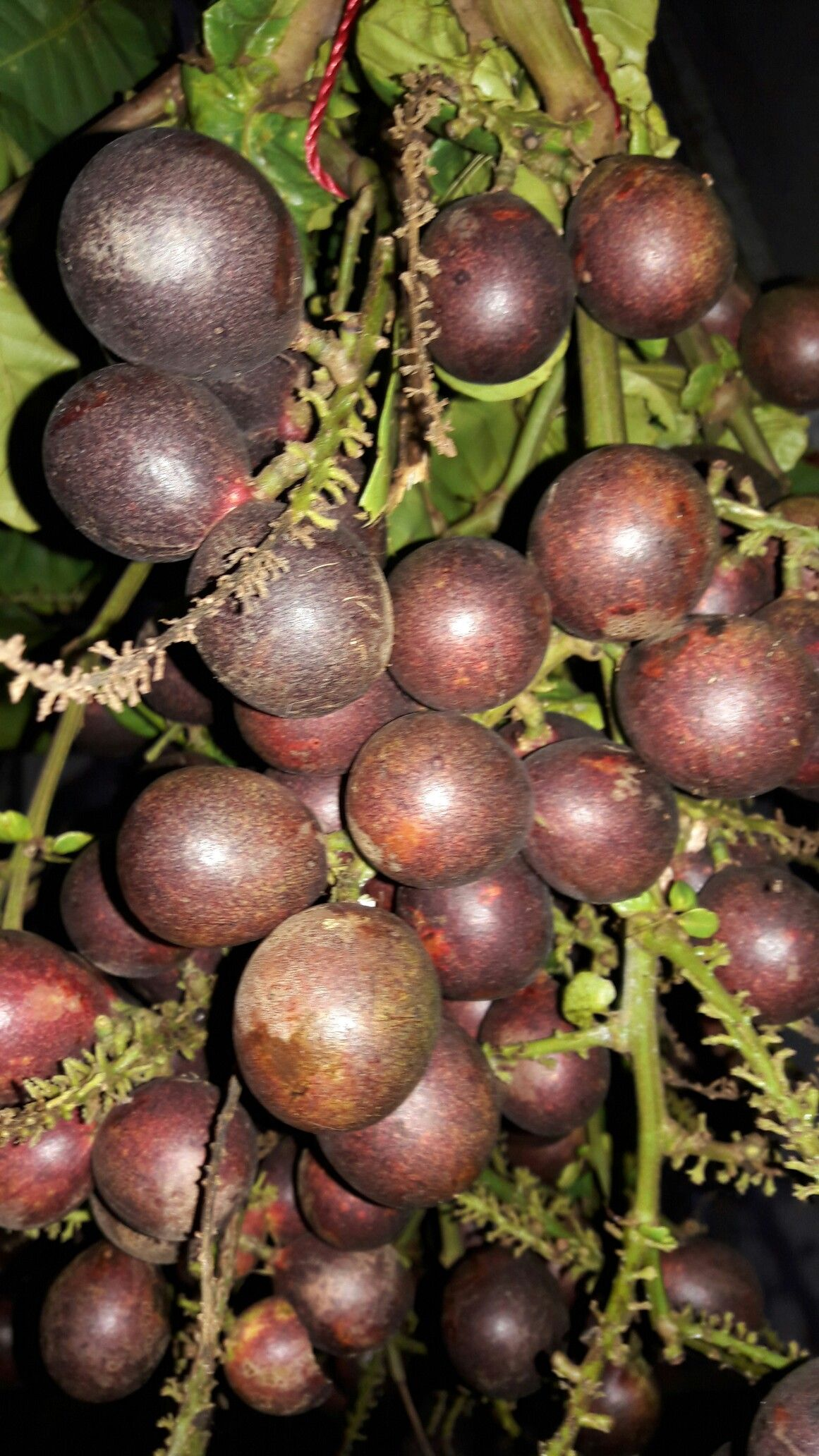 top gambar sketsa buah nangka sketsabaru