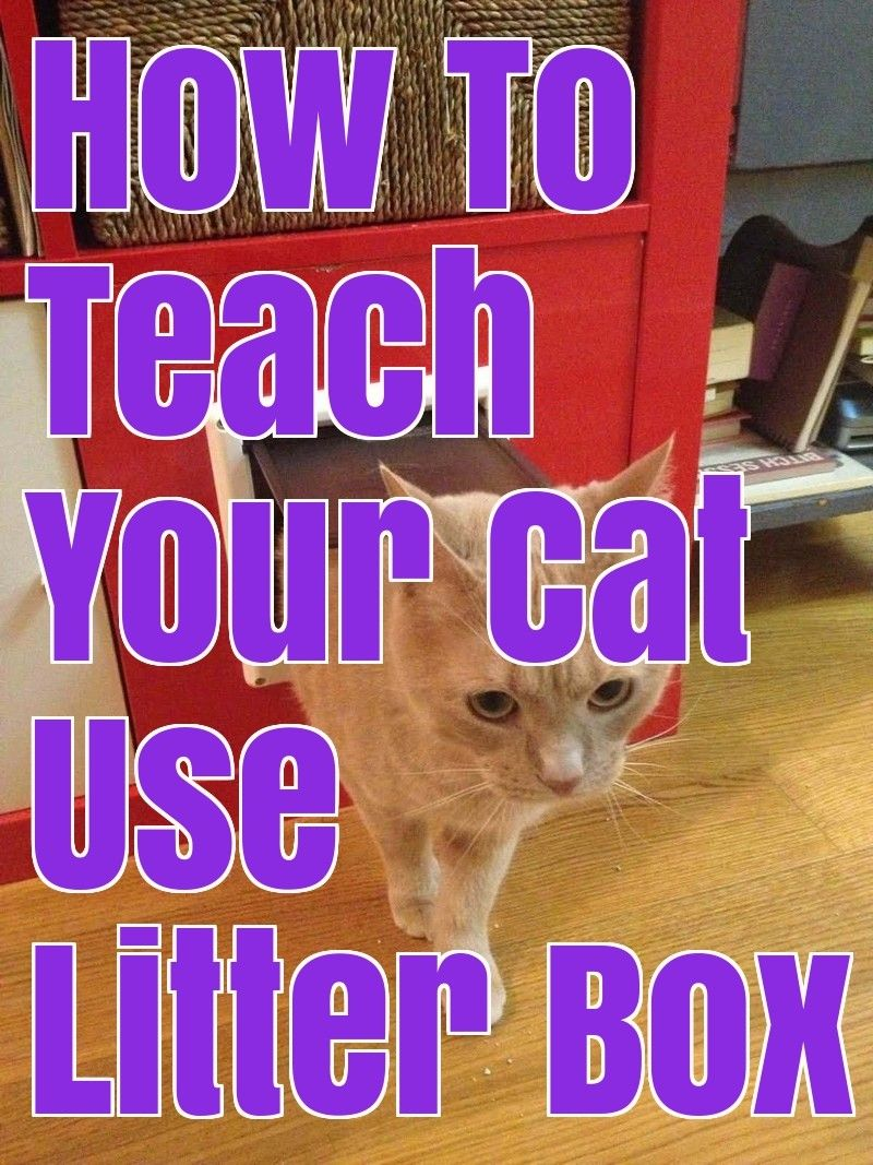 How to teach your cat use litter box cats litter box