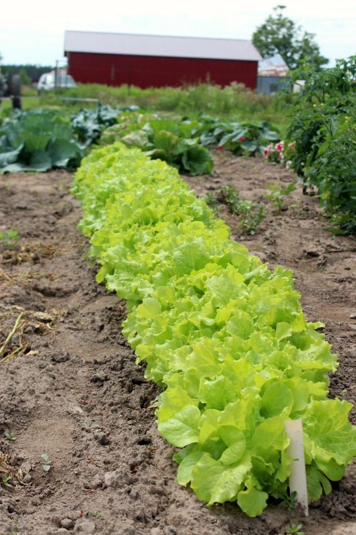 garden fresh butter lettuce
