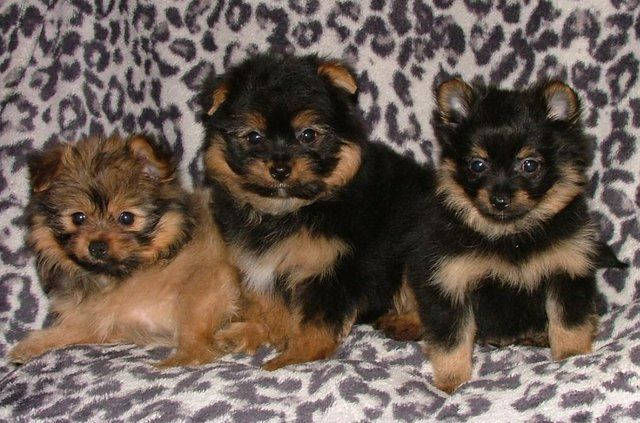 Porkie Pom Puppys Somerset Puppies Dogs Dogs For Sale