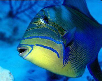 Queen Trigger Grand Cayman Saltwater Aquarium Fish Grand