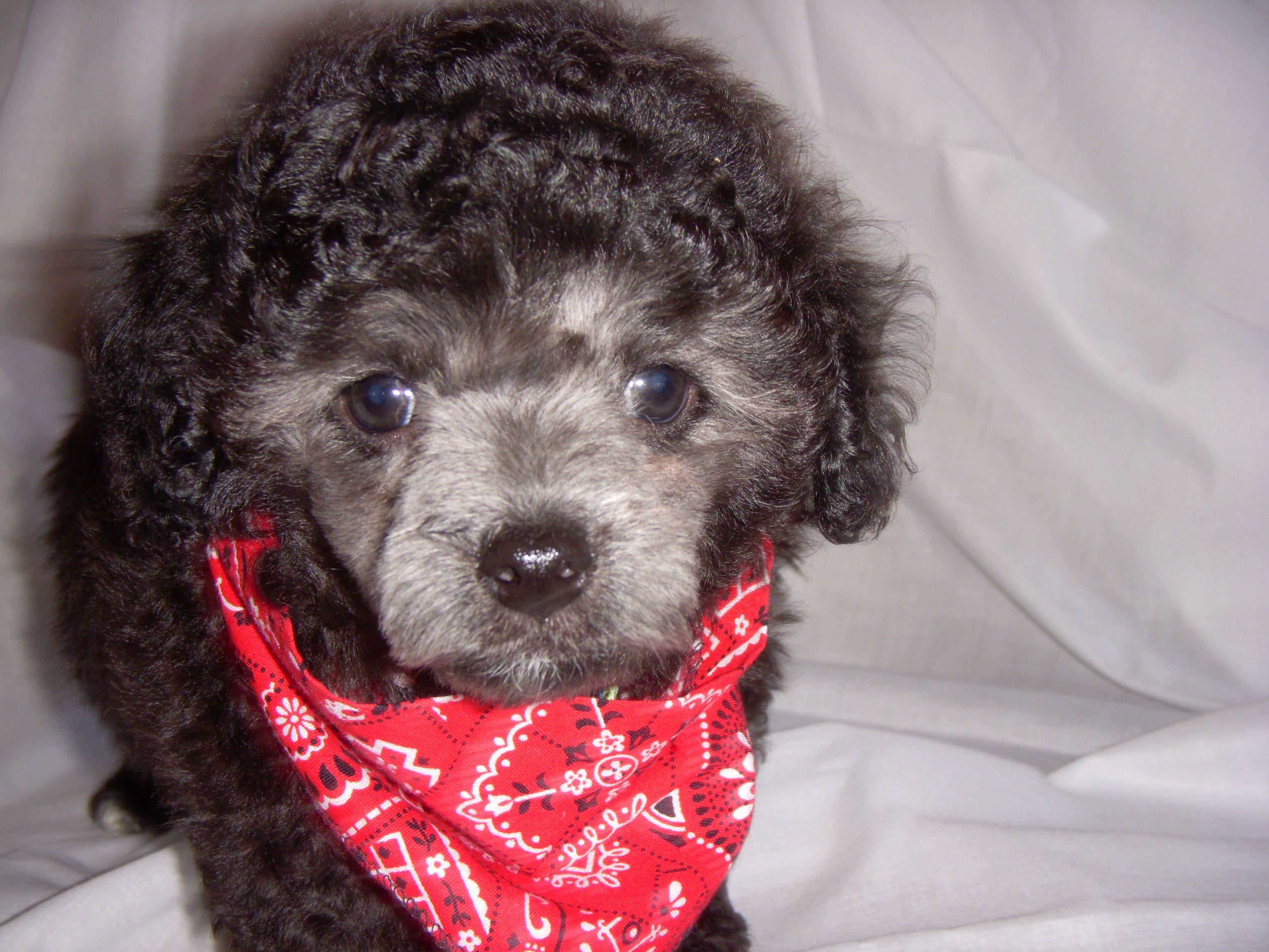Baby Prince Granite 可愛い犬 犬 可愛い