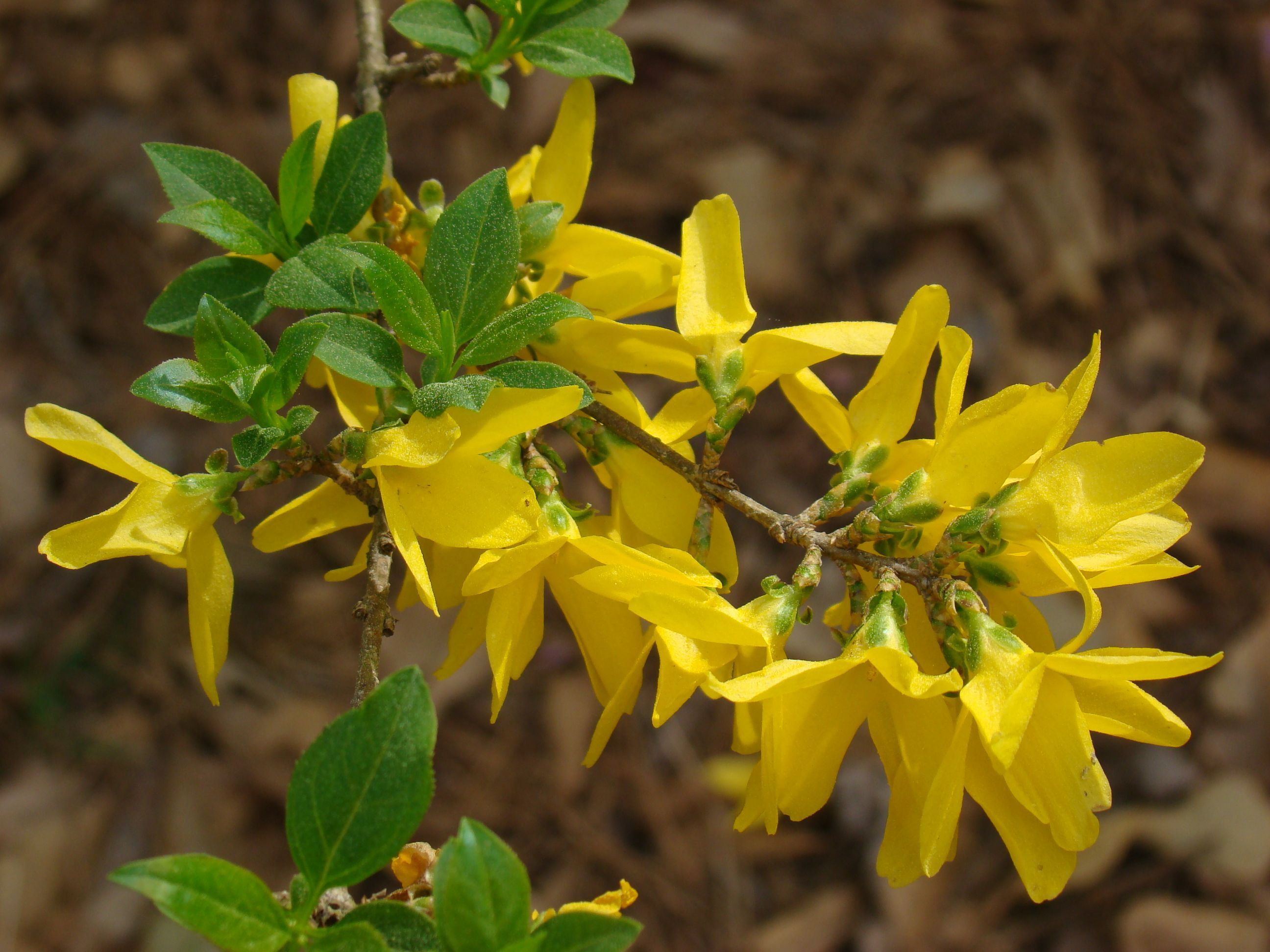 Forsythia Plants, Forsythia, Nature