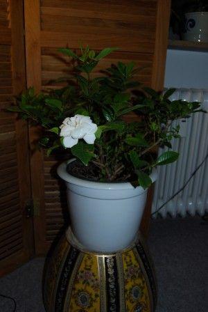 Gardenia Houseplants Tips For Growing Gardenias Indoors Growing