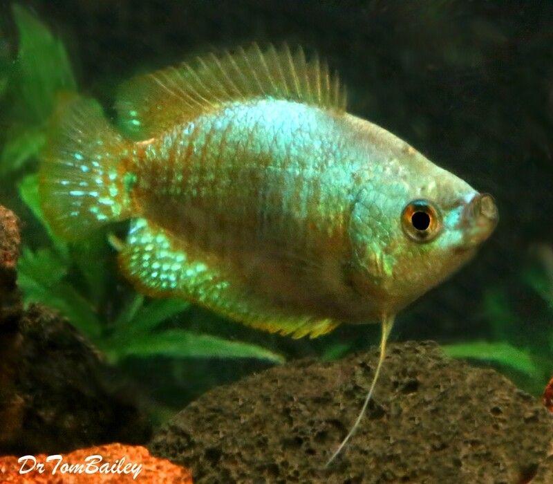 Premium Female Young Neon Blue Dwarf Gourami Size 1 5 To 2 In 2020 Goldfish For Sale Aquarium Fish Tropical Fish