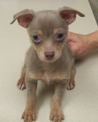 Adorable Lilac Chihuahua Puppy With Images Chihuahua Puppies