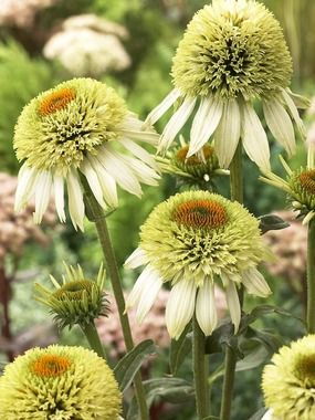 Coneflower  (Echinacea) 'Coconut Lime-Early - flowers from summer to early fall