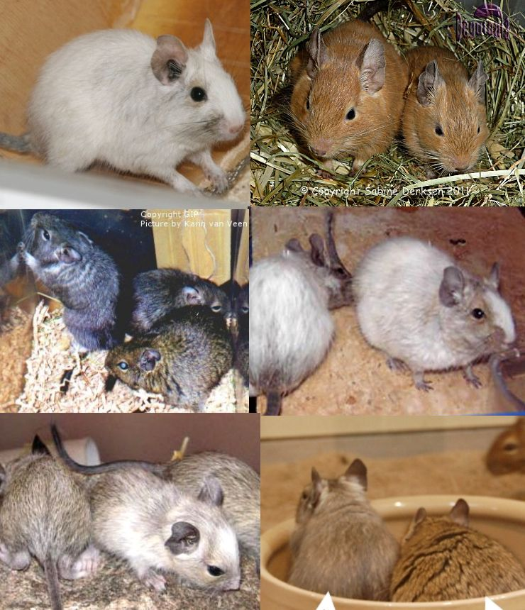 Degu colour