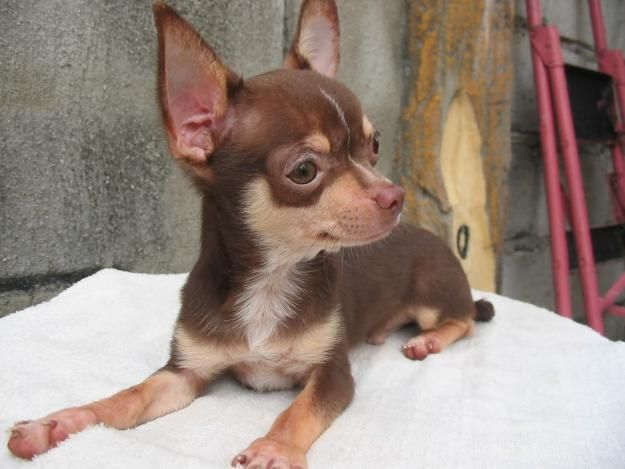 Olx Ph By Sulit Com Ph The Philippines 1 Buy And Sell Website Chihuahua Love Cute Small Dogs Chihuahua Puppies