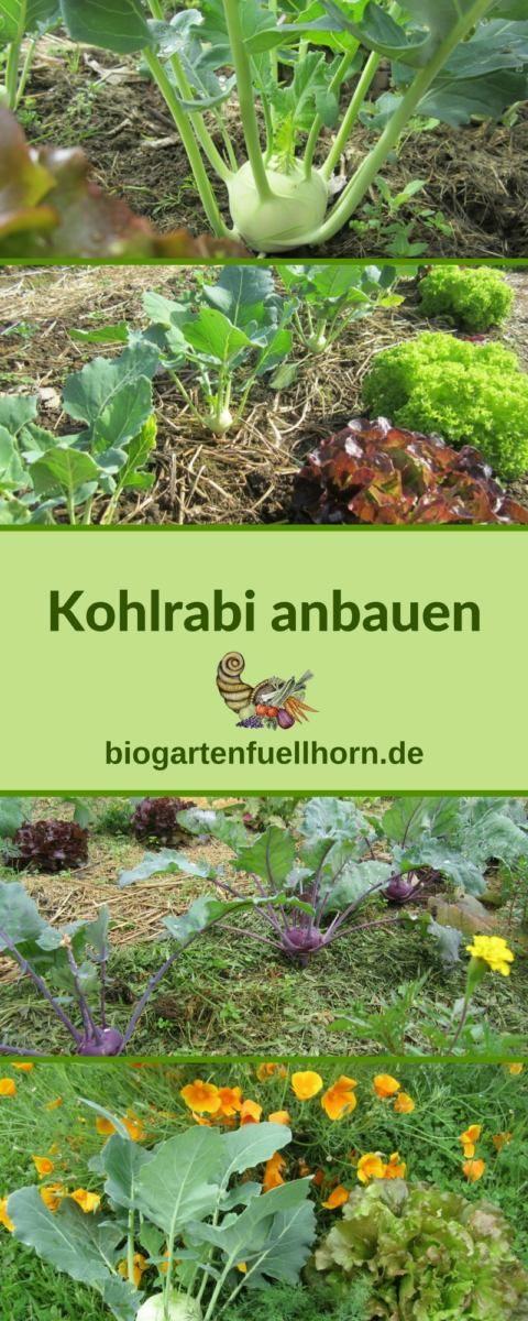 Der Anbau von Kohlrabi #anbauvongemüse
