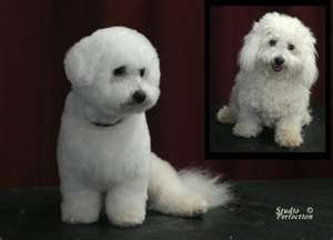 Bichon Frise Grooming Styles Yahoo Image Search Results Bichon Dog Bichon Frise Cute Dogs And Puppies