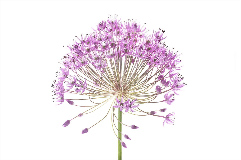 Robert Llewellyn Allium Flower Allium Purple Sensation