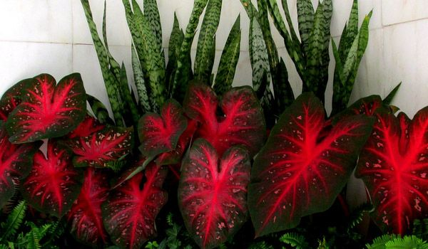 Caladium A Brightly Colored Plant Sometimes Called Elephant Ears