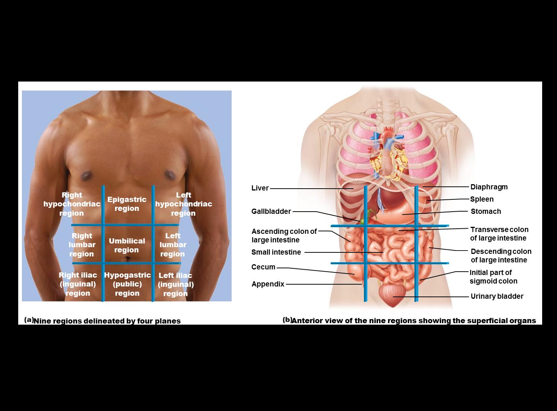 Tolle Anatomie Und Physiologie Studie Werkzeuge Ideen - Menschliche ...