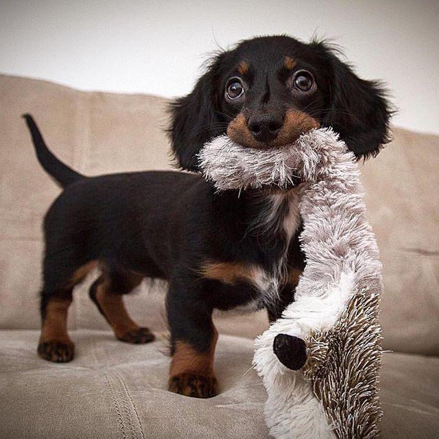 Pin By Alison Plant On Cuties Dachshund Dog Dachshund Puppy