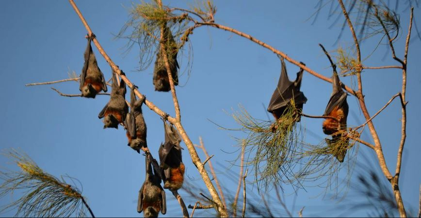 Batemans Bay residents driven batty over rising flying fox population — Bats_Rule! Help Save WildLife
