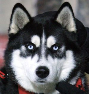 Mission Niu Mascot Husky Dog Love Northern Illinois University