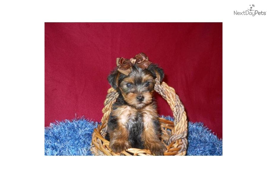 Dixon Merry Christmas Yorkie Puppy For Sale Yorkie Yorkies For Sale