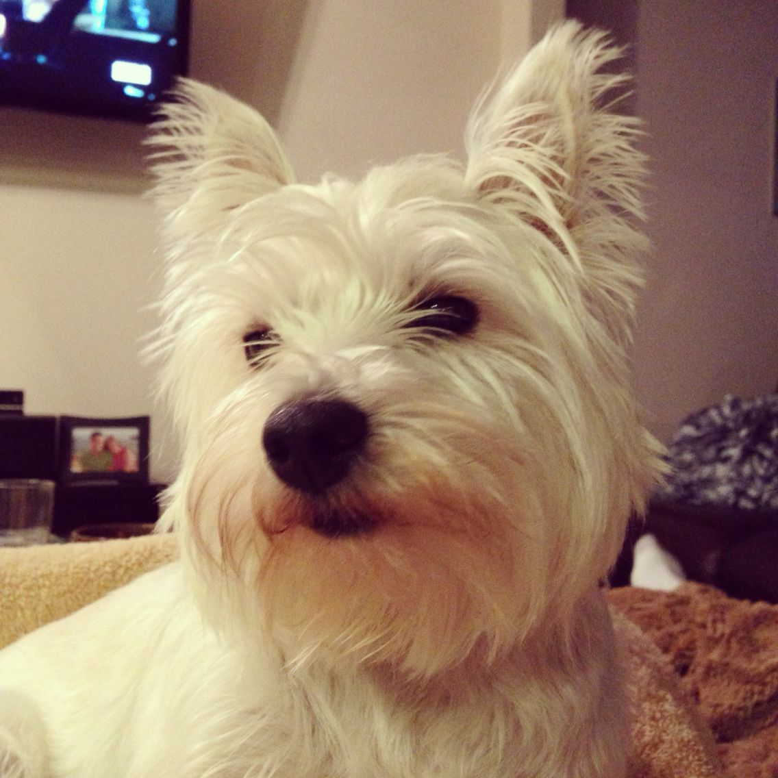 Westies, White Puppies, Dogs