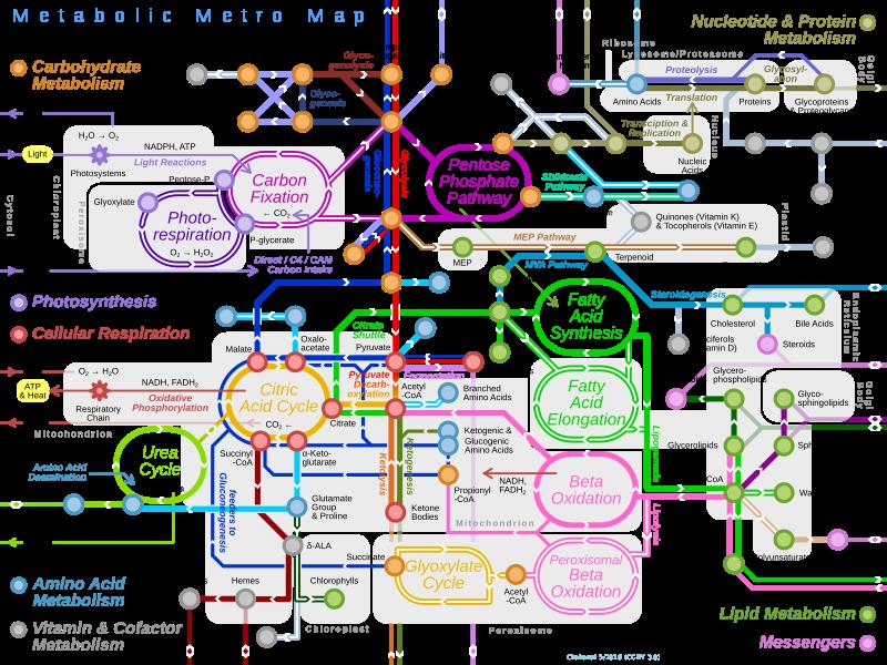 Resultado de imagen para mapa metabólico pdf bioquimica..