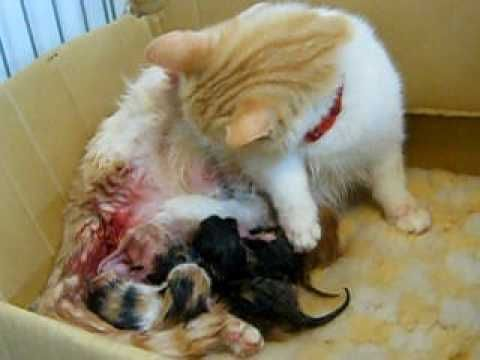 Mother cat looks after newborn kittens immediately after