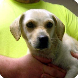 Hagerstown Md Dachshund Labrador Retriever Mix Meet Cashmere A