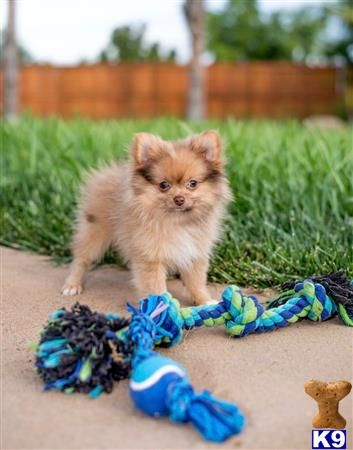 Pomeranian Puppy For Sale Male Pomeranian Puppy Simba 12 Weeks