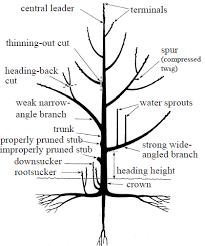 Image Result For Pruning Tree Diagram Pruning Fruit Trees Fruit Trees Tree Pruning