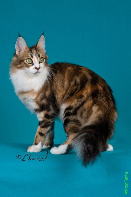 Brown Patch Classic Tabby + White Turkish Angora | Cat ...
