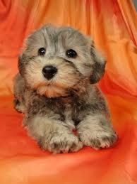 Image Result For Mini Teddy Bear Schnoodles Schnoodle Puppies