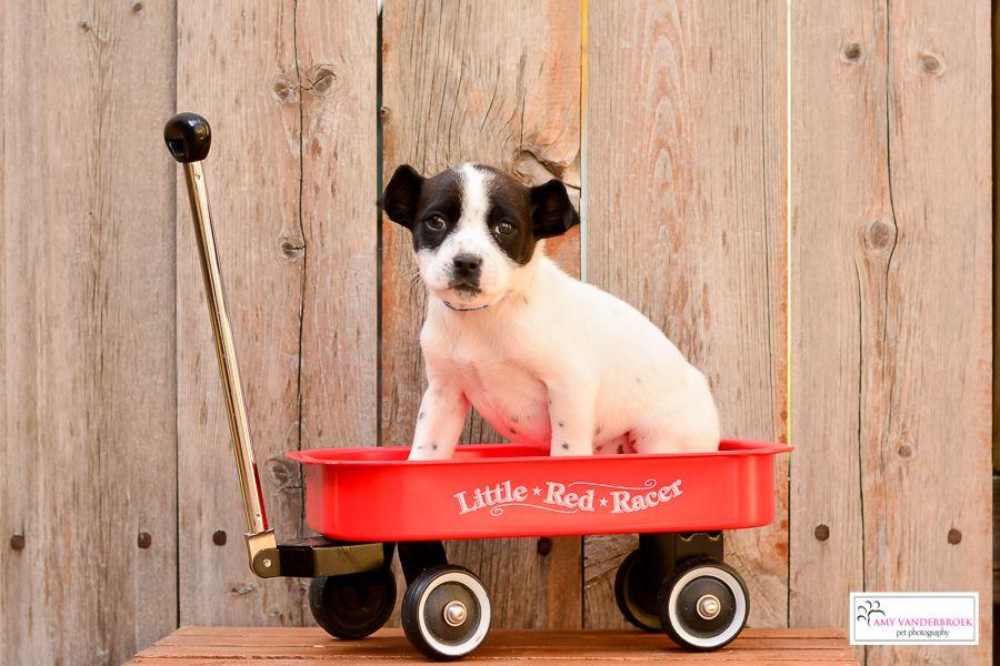 Terrier Mix (Size: Medium) Girl (Spayed) – 8 weeks