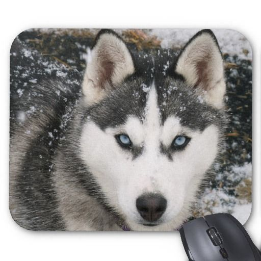 Siberian Husky Puppy Dog In Snow Mousepad Zazzle Com Siberian Husky Dog Husky With Blue Eyes Siberian Husky
