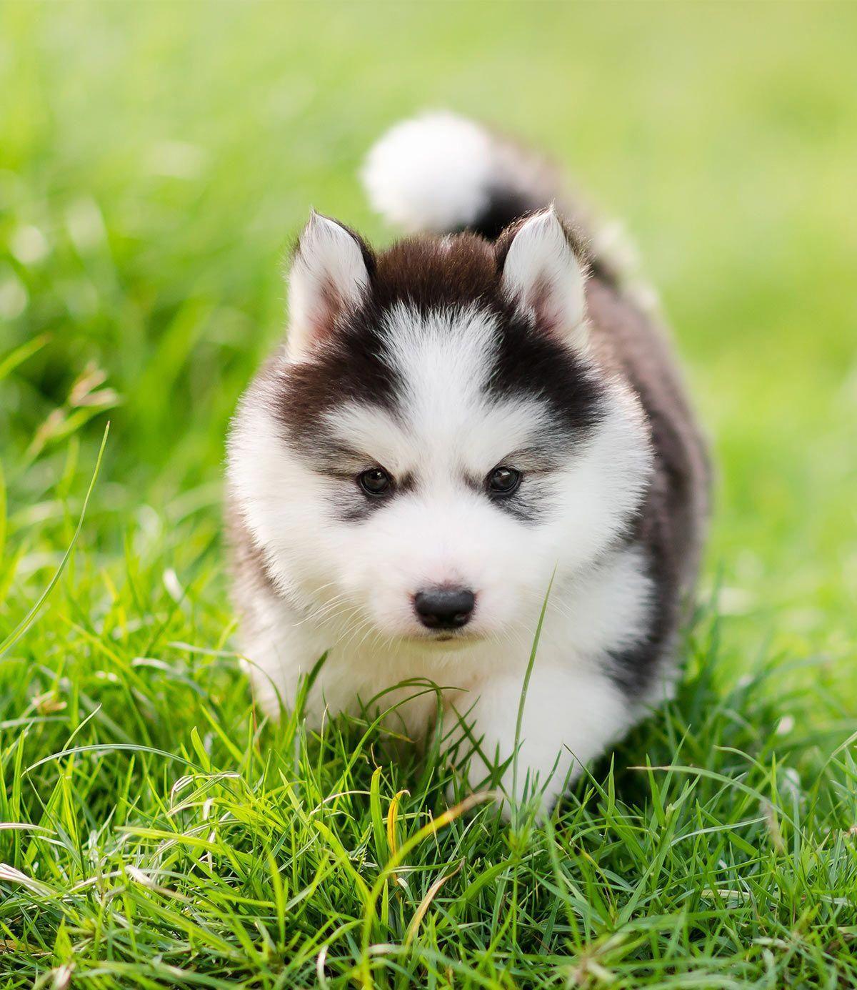 Find Out More On Athletic Siberian Husky  Temperament #siberianhuskygram #siberianhuskeybordermix #siberianhuskyblack