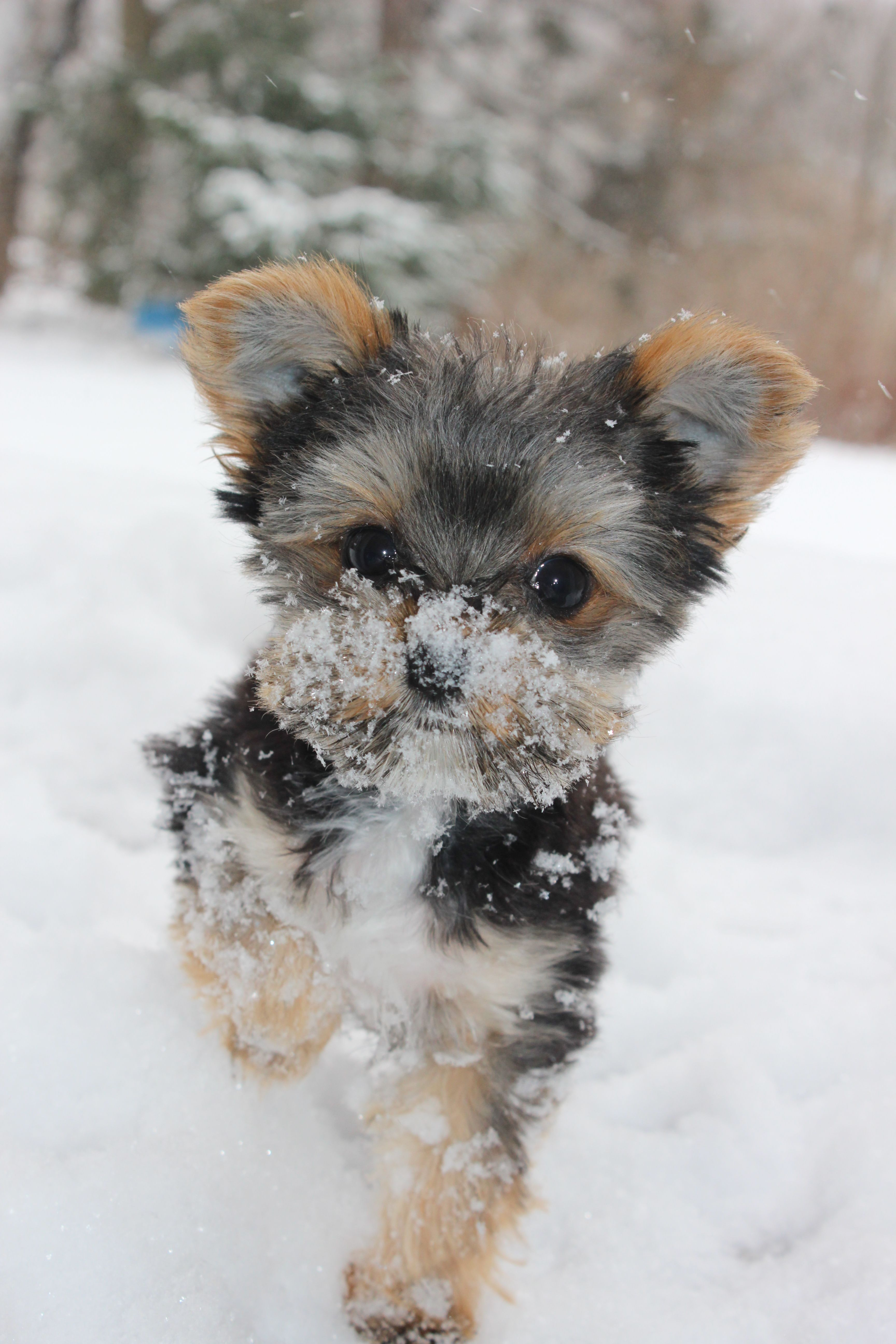 Have A Snowflake Yorkie Yorkshire Terrier Snow Snowdogs Merry