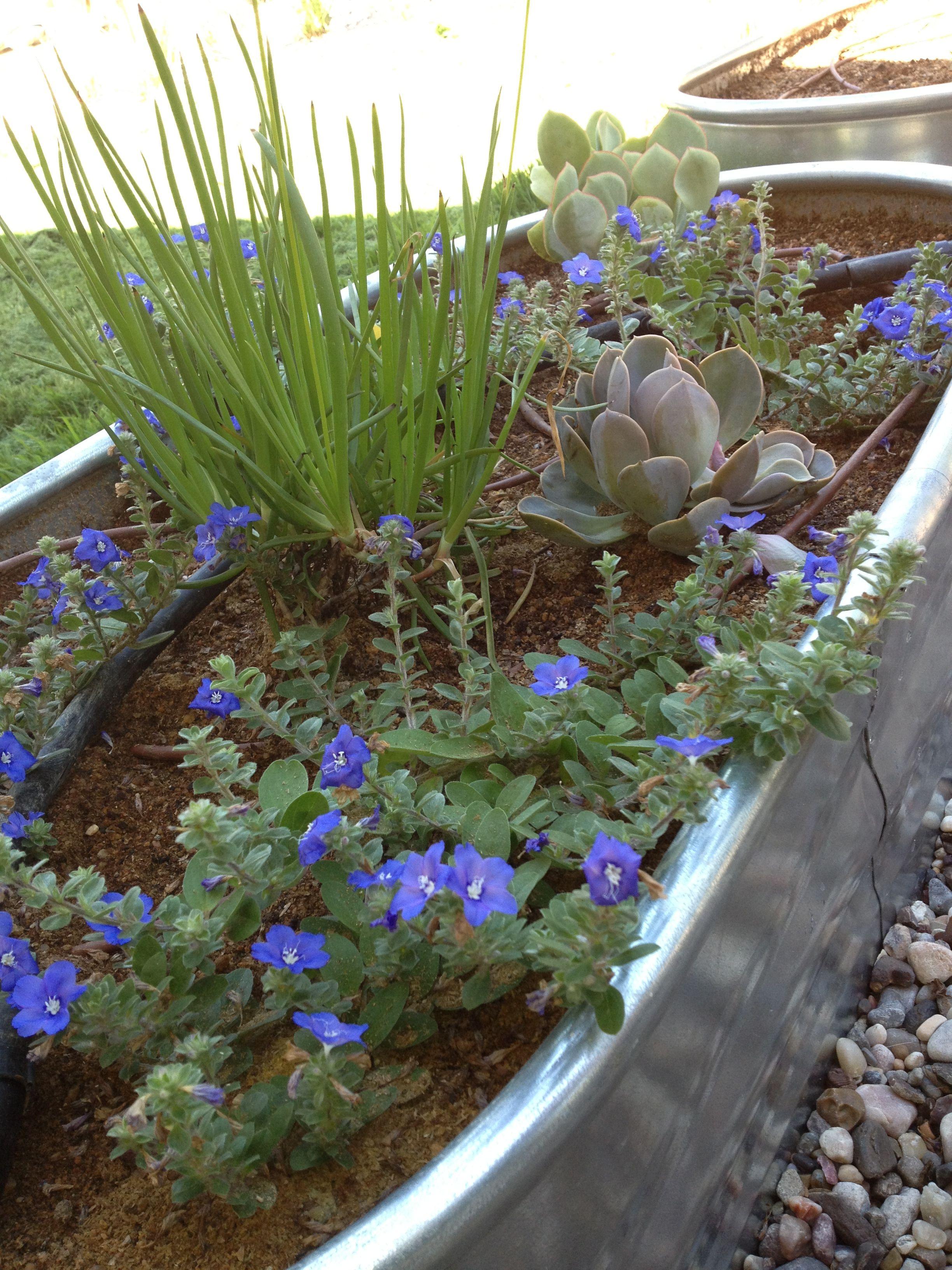 Drought tolerant stock tank garden raised garden